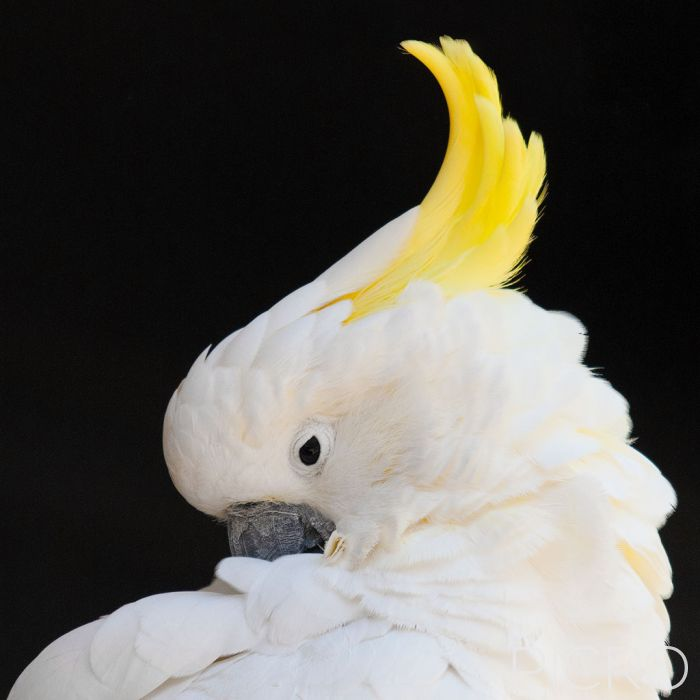Sulphur-crested Cockatoo - Sulphur-crested Cockatoo