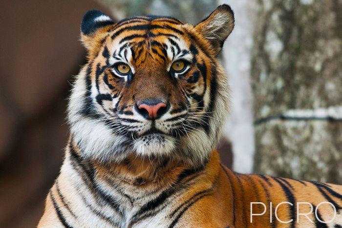 Tiger - Tiger