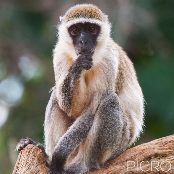 Vervet Monkey - Vervet Monkey