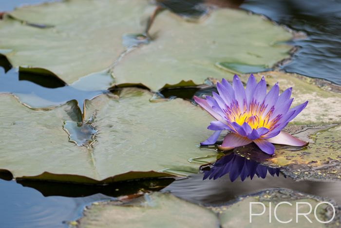 Water Lily - As a symbol of enlightenment and purity, a purple water lily flower floats among the round leaves of lily pads, composed using the rule of thirds technique.