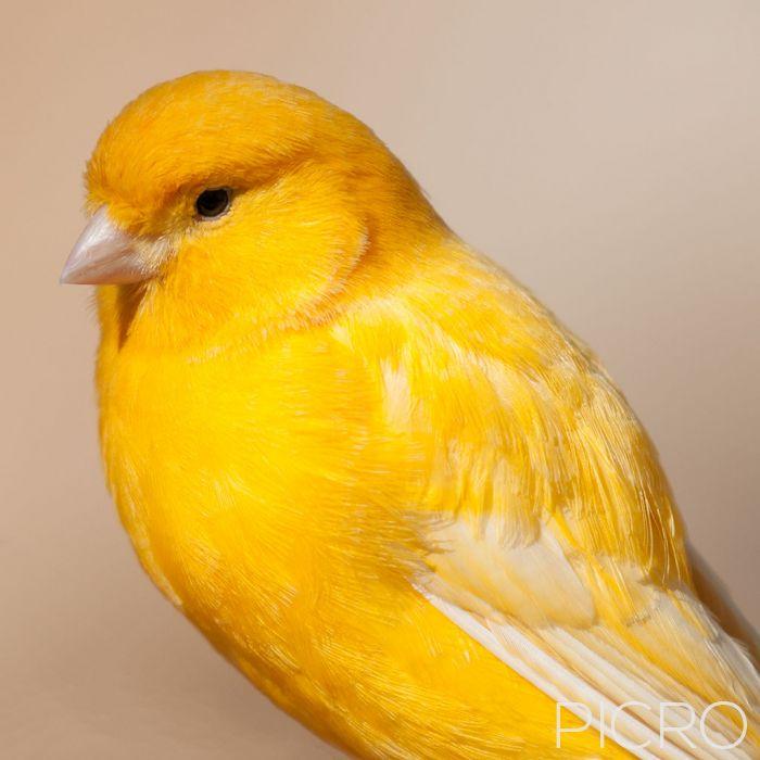 Yellow Canary - Yellow Canary
